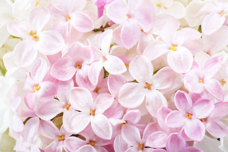 Floral background of light pink  tiny flowers of Lilac. Flat lay. Top view. Selective focus.