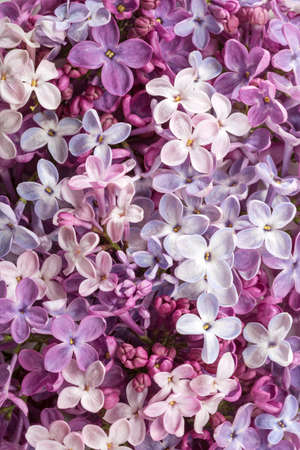 Different сolorful tiny flowers of Lilac as background. Flat lay. Top view.