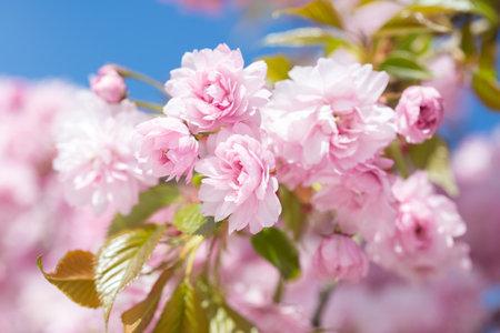 Light pink flowers of Cherry blossoms (Sakura) against blu sky. Shallow depth of field.  Selective focus.
