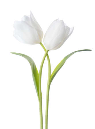 Two white Tulips isolated on white background.
