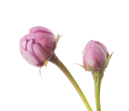Two unblown buds of  Sakura flower isolated on white background.