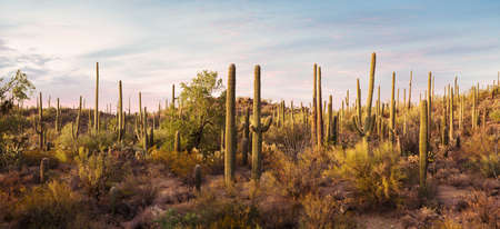 Panoramic view of  Cactus thickets in the rays of the setting sun, Saguaro National Park, southeastern Arizona, United States. Toned image 免版税图像