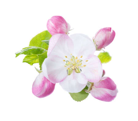 Closeup of Apple blossoms isolated on white background.