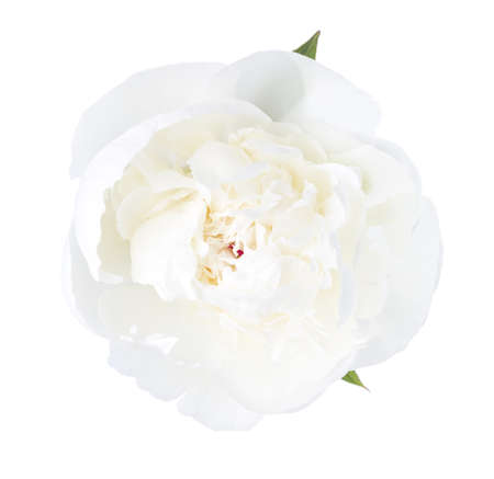 White  peony isolated on white background.