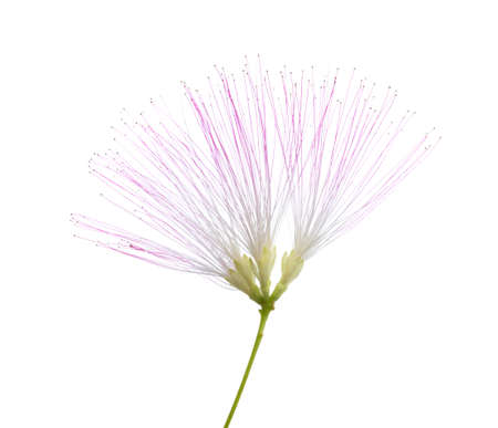 Flower of Persian Silk Tree with very long stamens of pale pink color isolated on white background. Selective focus. 免版税图像