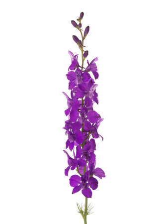 Violet flower of Delphinium isolated on white background.