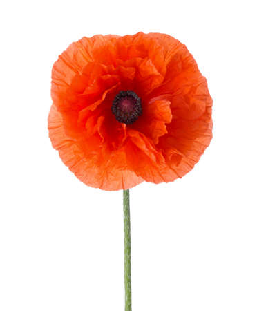 Red Poppy isolated on white background.