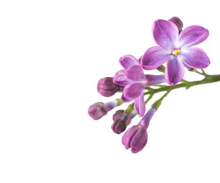 Tiny Lilac flowers isolated on white background. Shallow depth of field.  Selective focus.