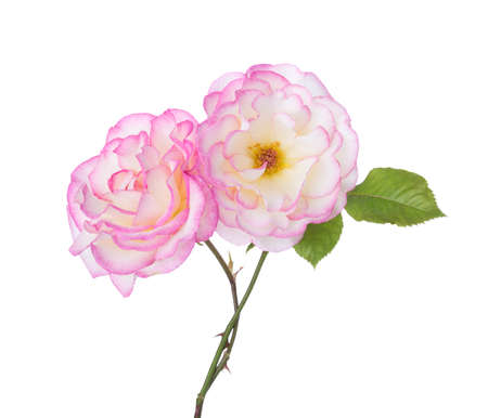 Two white-pink  Roses isolated on white background.  Selective focus.