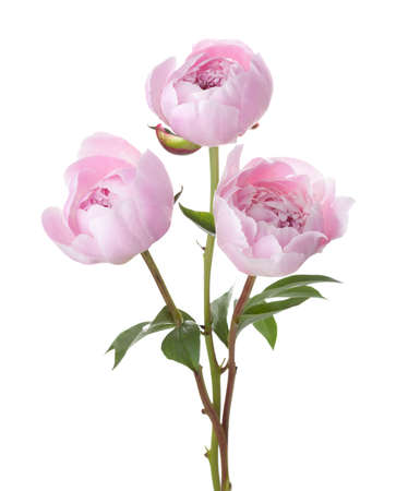 Three light pink peonies isolated on white background. 免版税图像