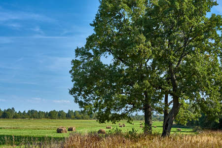Lush oak tree in the background of a field with haystacks on a sunny summer and calm day