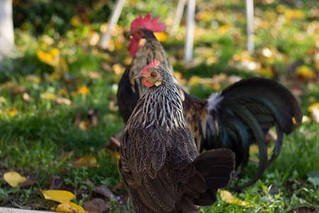 Chicken in the Garden Stock Photo