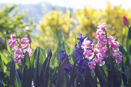Pink and Violet Hyacinthus in the Garden Stock Photo