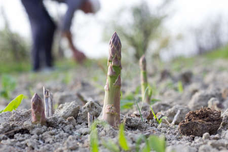 Asparagus in the Field