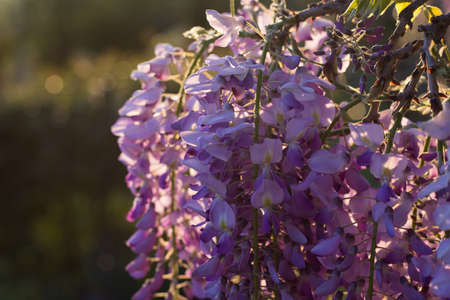 Wysteria in the Sunset