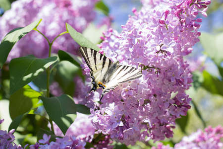 soumis: Submitted by Iphiclides Podalirius Butterfly on Syringa Flowers in the Sunset