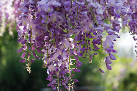 faboideae: Wysteria in the Sunset