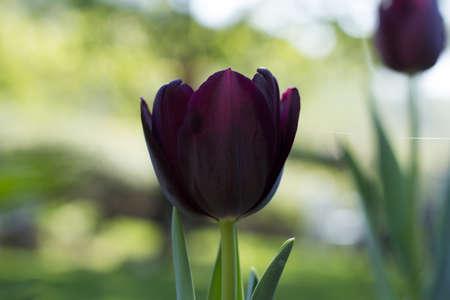 Black Tulip in the Sunset