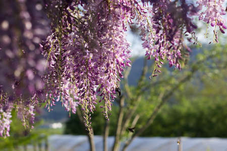 Bumblebee on Wysteria Flowers