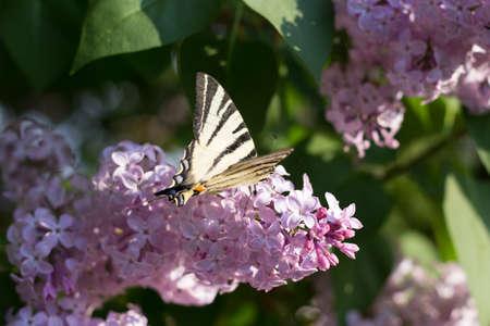 soumis: Soumis par Iphiclides Podalirius Butterfly sur Syringa Fleurs au coucher du soleil Banque d'images