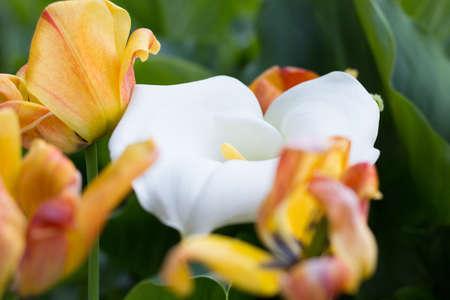 arum: Zantedeschia and Tulips in the Garden Stock Photo