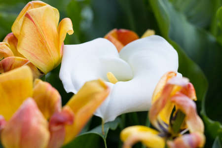 Zantedeschia and Tulips in the Garden Stock Photo