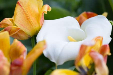 Zantedeschia and Tulips in the Garden Stock Photo