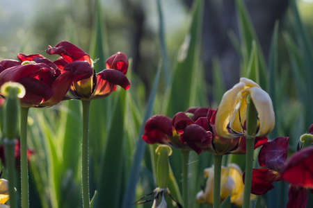fading: Dry Tulips in the Sunset