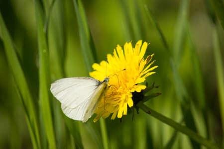 pieris: Pieris Rapae is Dandelion Flower