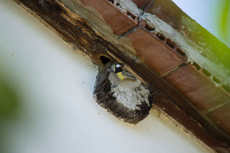 majors: Parus Major in the Nest