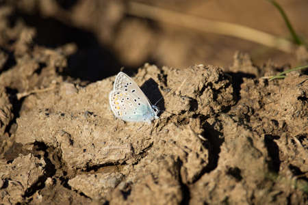 Lycaenidae Butterfly resting on a dried muddy ground