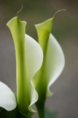 Zantedeschia Flowers