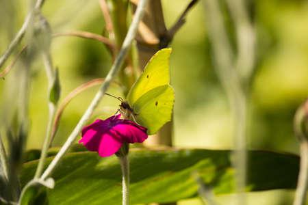 Gonepteryx cleopatra on Flower