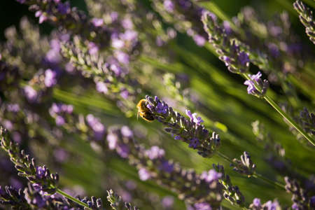 Bee on Lavender Flowers Stock Photo