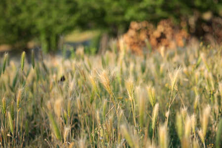 Wild Wheat Ears Stock Photo
