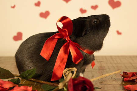 Guinea Pig on Valentines Day Stock Photo