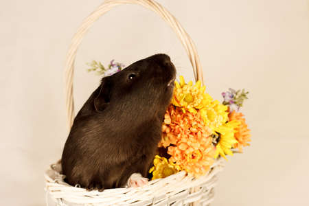 Guinea Pig Happy Easter