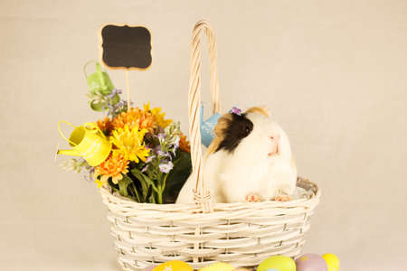 Guinea Pig Happy Easter with Eggs