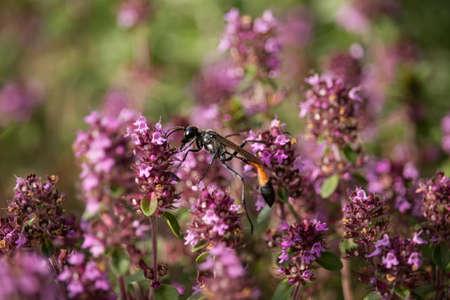 Bộ sưu tập côn trùng 2 - Page 6 104621893-sphex-funerarius-on-thymus-flower
