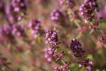 Violet Thymus Flowers on Sunset