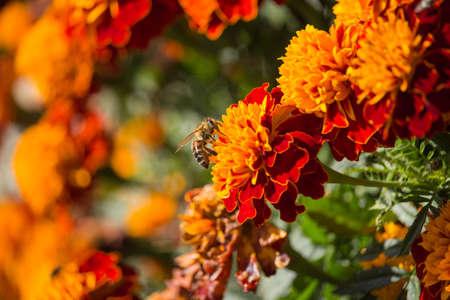 Bee on Marigold Stock fotó