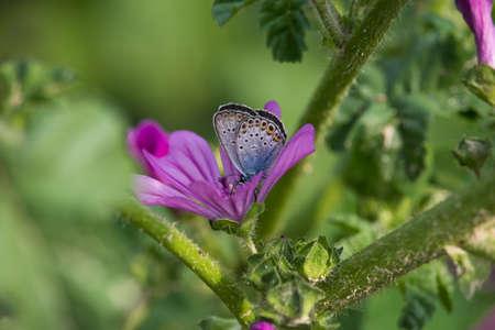 Polyommatus icarus on Malva Flower Stock fotó