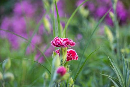 Dianthus caryophyllus Flowers