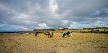 Grazing cows on Easter Island Imagens