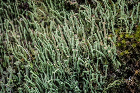 Cladonia coniocraea in the Puyehue national park in Chilean Patagonia