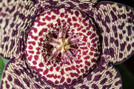 Close up of the flower of the succulence of Stapelia pulchellus