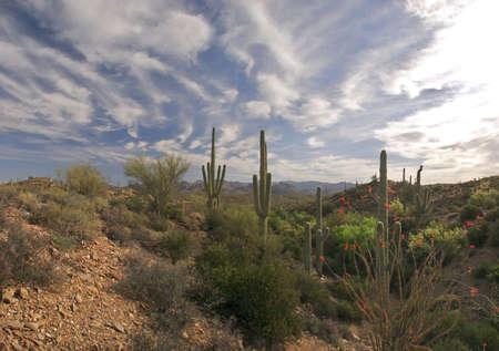 ocotillo: Panoramo of Sonoran Desert with Saguaros and Ocotillo.