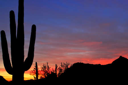 cholla cactus: Saguaro silhouette with sunset lit blue red sky.