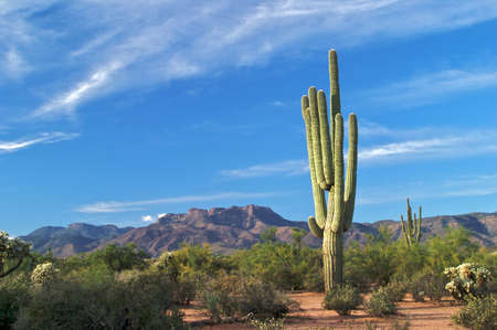 Saguaro in Superstition Wilderness. Stock Photo