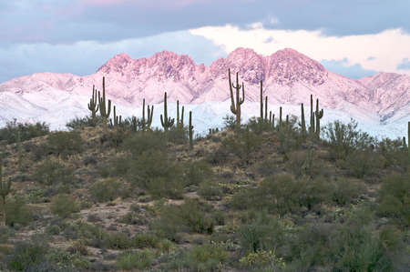ocotillo: Saguaro in front of snow covered mountains in alpenglow.